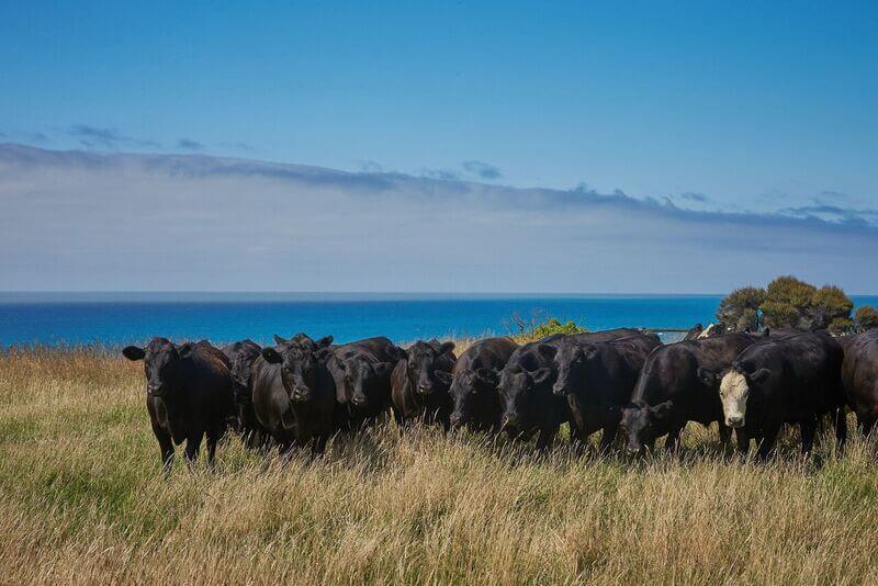 Lansdowne Farm - Cattle on Pacific edge