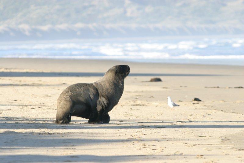 Seal on the beach near Lansdowne Farm